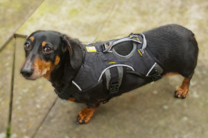 Dauschund in Dog Carry Harness